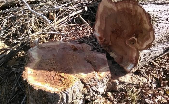 Abbattimento alberi malati Comune FIV_3